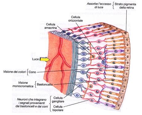 struttura-retina